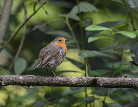 erithacus: Portrait of Robin Erithacus Rubecula bird perched in tree