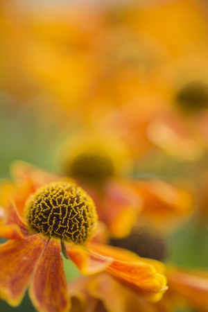 susan: Beautiful macro close up of black eyed susan flower with shallow depth of field for effect Stock Photo