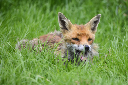 Beautiful image of red fox vulpes vulpes in lush Summer countryside landscape