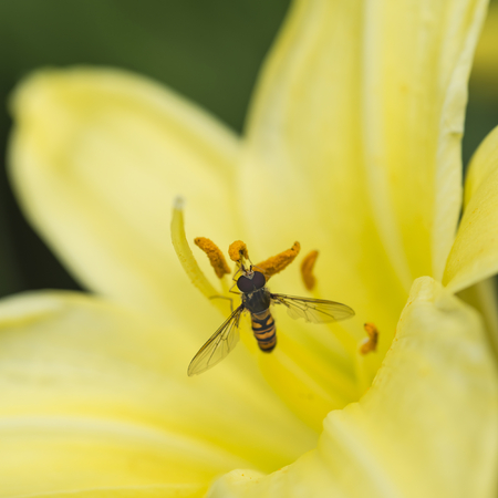 Beautiful macro close up of common wasp insect on trumpet lily flower in Summer