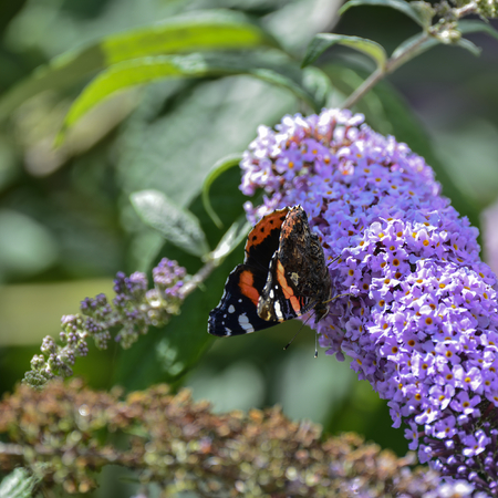 admiral: Beautiful image of Red Admiral butterfly Vanessa Atalanta on vibrant purple flower in Summer