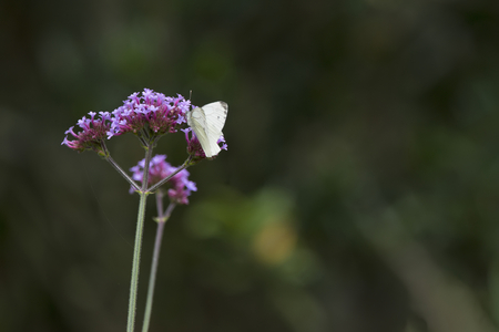 landed: Cabbage white butterfly landed on vibrant flower on Summer day Stock Photo