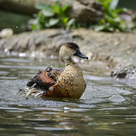 arcuata: Wandering Whistling Duck chick cleaning itself in pond flapping wings with water splashes