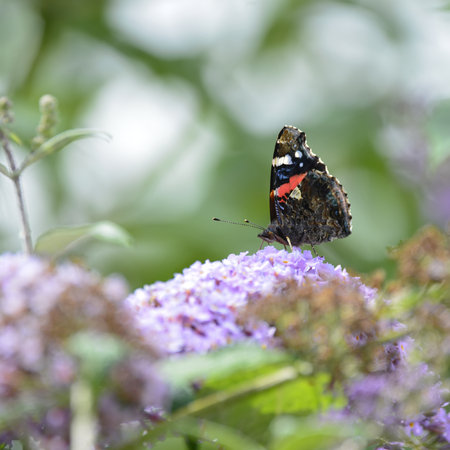 Beautiful image of Red Admiral butterfly Vanessa Atalanta on vibrant purple flower in Summer