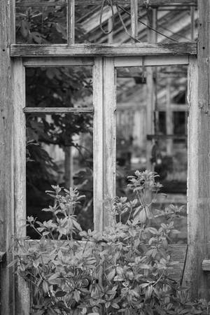 old english: Beautiful old Victorian era greenhouse left ro ruin in old English garden in black and white