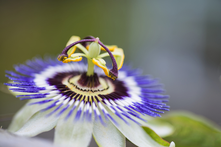 close up image: Stunning close up image of passion flower on the vine Stock Photo