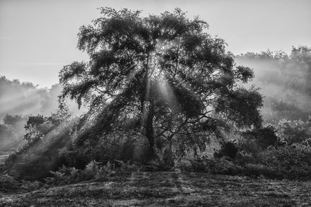 Stunning sunrise landscape of sun beams shining through tree in black and white Stock Photo