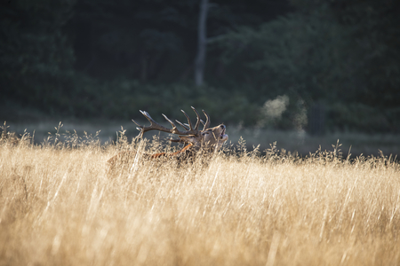 Majestic red deer stag cervus elaphus bellowing in open grasss field during rut season in Autumn Fall Stock Photo