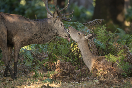 Beautiful intimate tender moment between red deer stag and hind doe during rutting season showing bond between the animals