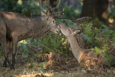 animalitos tiernos: Hermosa oferta momento íntimo entre ciervo rojo y de una gama trasera durante la época de celo que muestra vínculo entre los animales