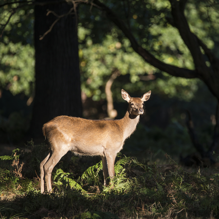 Beautiful hind doe red deer cervus elaphus in dappled sunlight forest Autumn Fall landscape
