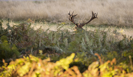 cervus: Majestic red deer stag Cervus Elaphus in forest landscape during rut season in Autumn Fall
