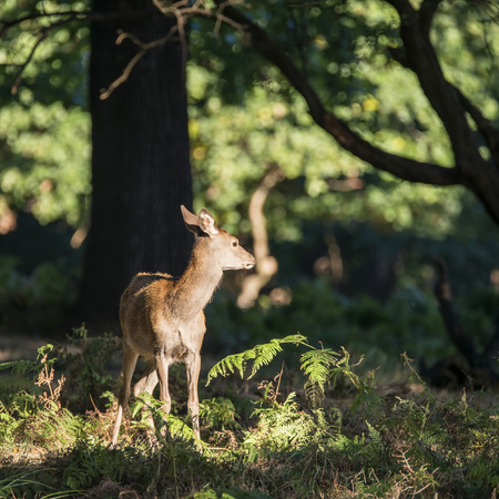 hind: Young hind doe red deer calf in Autumn Fall forest landscape image