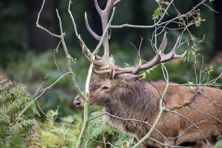 Red deer stag using fallen trees to clean the velvet from his antlers during rut season in Autumn Fall Stock Photo