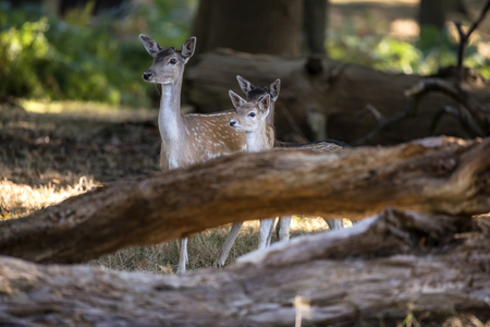 Fallow deer hind doe with two young calves in forest landscape setting