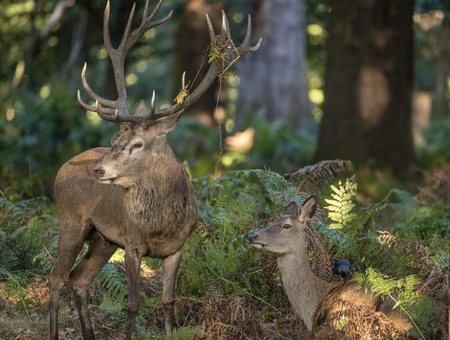 rutting: Beautiful intimate tender moment between red deer stag and hind doe during rutting season with stag bellowing  Stock Photo