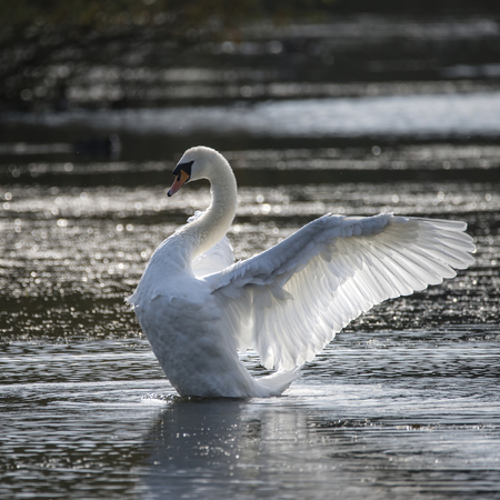 Graceful beautiful mute swan stretches its wings on lake with sun behind Stock Photo