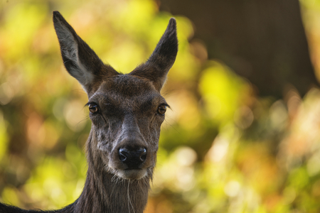 Beautiful hind doe red deer cervus elaphus in dappled sunlight forest Autumn Fall landscape