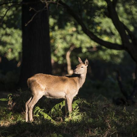 cervus: Beautiful hind doe red deer cervus elaphus in dappled sunlight forest Autumn Fall landscape