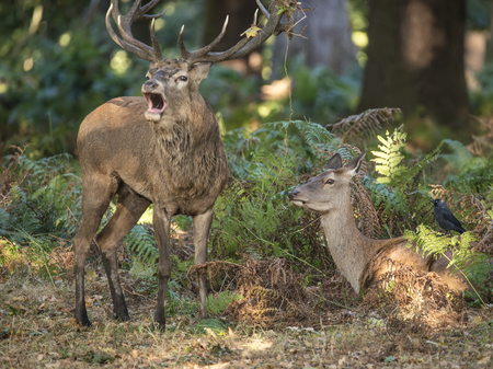 bellowing: Beautiful intimate tender moment between red deer stag and hind doe during rutting season with stag bellowing  Stock Photo