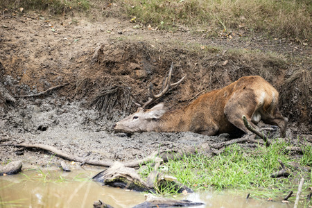 ruminants: Red deer stag cervus elaphus takes a mud bath to cool down on Autumn Fall day