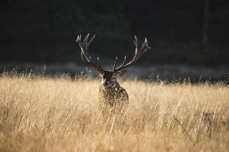 bellowing: Majestic red deer stag cervus elaphus bellowing in open grasss field during rut season in Autumn Fall Stock Photo