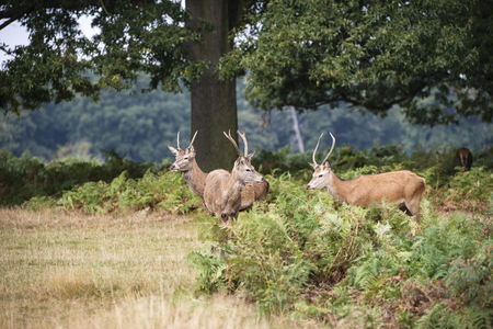 rutting: Young red deer stags in forest landscape during rutting season in Autumn Fall Stock Photo