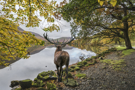refelction: Beautiful red deer stag looks out across lake towards mountain landscape in Autumn scene Stock Photo