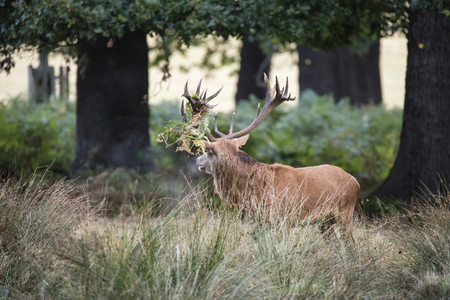 Majestic red deer stag Cervus Elaphus in forest landscape during rut season in Autumn Fall