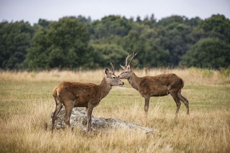 Young red deer stags in forest landscape during rutting season in Autumn Fall Stock Photo