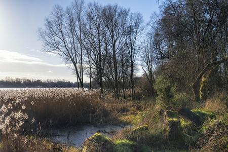 sunlgiht: Beautiful landscape image of Winter reeds in golden sunlight