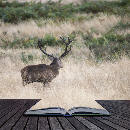ruminants: Majestic red deer stag Cervus Elaphus in forest landscape during rut season in Autumn Fall coming out of pages of book Stock Photo