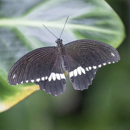 hindwing: Lovely Common Mormon butterfly settled on leaf