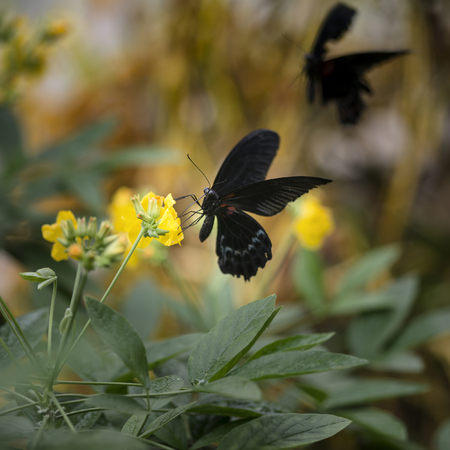 thorax: Beautiful Scarlet swallowtail butterfly on bright yellow flower with other butterfly flying in background Stock Photo