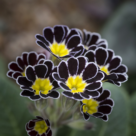 polyanthus: Beautiful polyanthus silver lace primula flower in full bloom