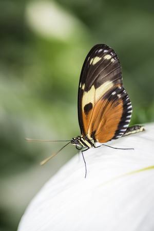 forewing: Mechanitis polymnia dorissides butterfly from South America Stock Photo