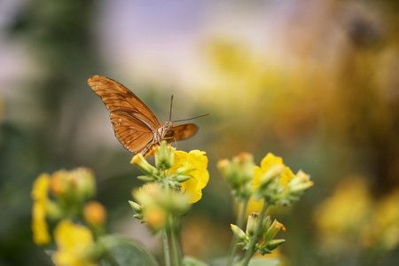 hindwing: Julia butterfly lepidoptra nymphalidae butterfly on yellow flowers Stock Photo
