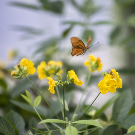Julia butterfly lepidoptra nymphalidae butterfly on yellow flowers Stock Photo