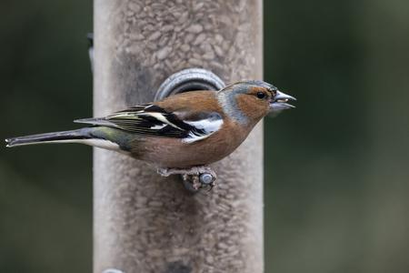 Chaffinch Fringilla Coelebs on garden bird feeder Stock Photo