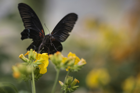 hindwing: Beautiful Scarlet swallowtail butterfly on bright yellow flower with other butterfly flying in background Stock Photo