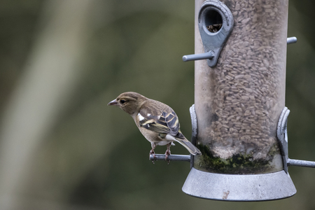 Female house sparrow passer domesticus on bird feeder Stock Photo
