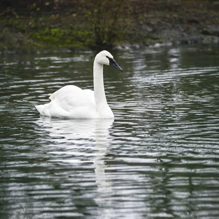 cygnus buccinator: Portrait of Trumpeter Swan Cygnus Buccinator on water in Spring