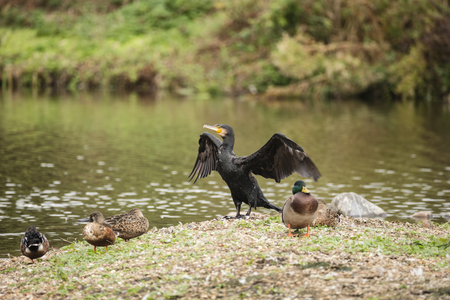 Natural image of Cormorant Phalacrocoracidae spreading wings in sun on river bank Stock Photo