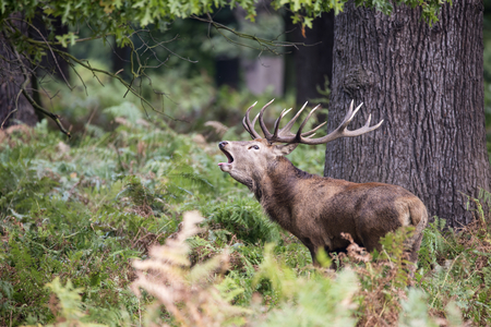 ruminants: Majestic red deer stag Cervus Elaphus in forest landscape during rut season in Autumn Fall