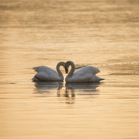 Mated pair of mute swans in classic heart shaped pose on lake in Winter