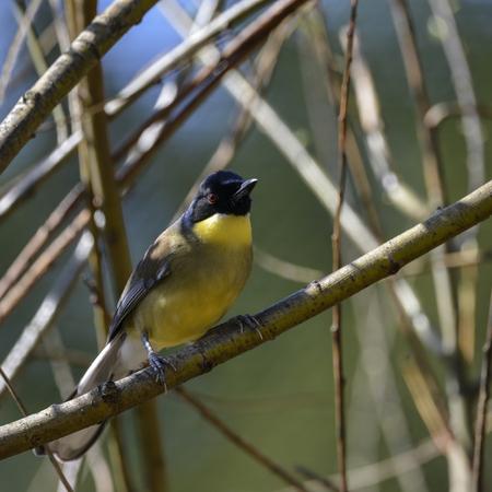 Beautiful vibrant male Weaver bird Ploceidae in tree