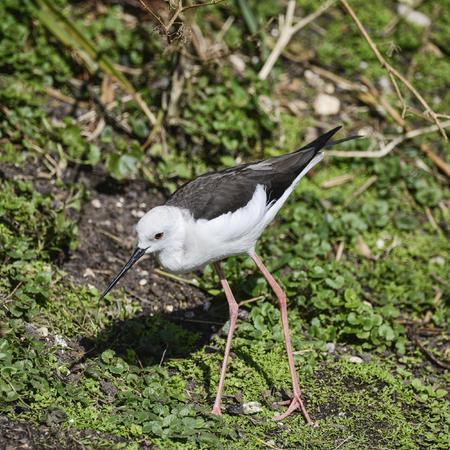 Beautiful long legged black winged stilt himantopus himantopus pied stilt grazing in Spring sunshine on riverbank