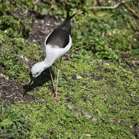 riverbank: Beautiful long legged black winged stilt himantopus himantopus pied stilt grazing in Spring sunshine on riverbank