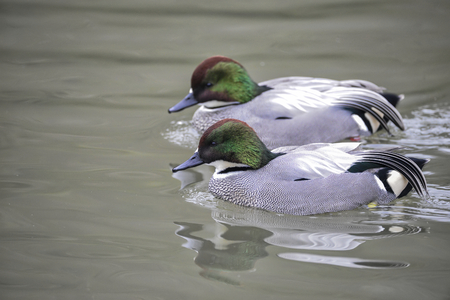 falcata: Portrait of Falcated Duck Anas Falcata bird on water in Spring Stock Photo