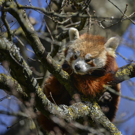 Beautiful red panda bear in tree trying to sleep ailurus fulgens Stock Photo